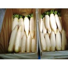 Nova colheita / alta qualidade / Radish branco fresco