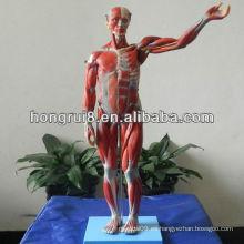 Modelo de Musculos de Lujo ISO de Maniquí Masculino, Modelo de Anatomía Muscular