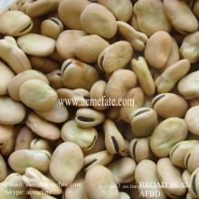 Ventas calientes delicioso Frijoles anchos secos / habas de fava