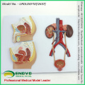 SELL 12437 Section Anatomical Human Urinary System Medical Female Male Teaching Tool Model