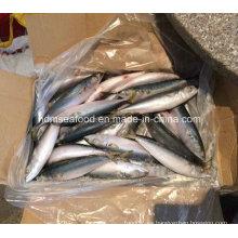 (7-8PCS / kg) W / R Nuevos pescados Pacific Mackerel