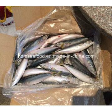 (7-8PCS/kg) W/R New Fish Pacific Mackerel
