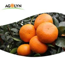 Sweet Taste High Vitamin C Fresh Orange/WO Tangerine