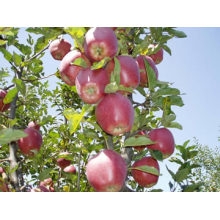 Chinesischer Premium Apfel