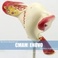 ANATOMY06 (12444) Modèle anatomique du modèle anatomique interne des organes génitaux féminins