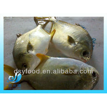 FROZEN GOLDEN POMFRET POMPANO WHOLE ROUND IQF IWP