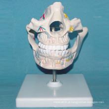 Modelo de anatomia da série cavidade da boca humana para o ensino (R080105)