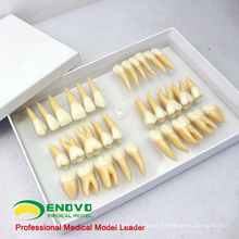 TOOTH06(12578) Set of Human Dental Study Model of Individual Permanent Teeth