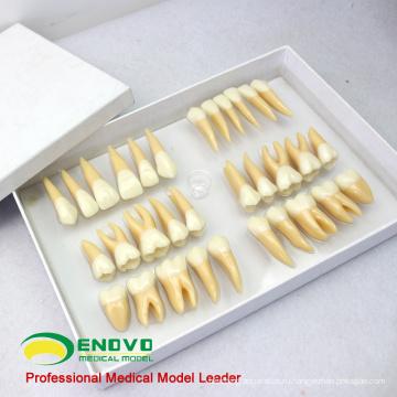 TOOTH06(12578) набор модель стоматологического обучения человека отдельных постоянных зубов