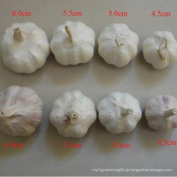 Suppy alle Spezifikation normalen weißen Knoblauch in China