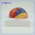 PNT-0612 Plastic Educational Brain Model with 3 Parts
