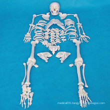 High Quality Human Skeleton Model for Medical Teaching (R020104)