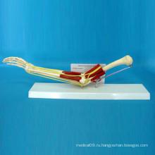 Модель анатомической структуры человеческого скелета (R040102)