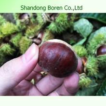 Shandong Boren Chestnuts para la venta
