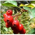 유기 초본 추출물 HAWTHORN BERRY PEBENIFITS