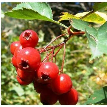 Organic Herbal-Extract HAWTHORN BERRY P.E.BENIFITS