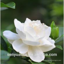 GMP Manufactuer suministro Extracto de Gardenia natural con 10% -98% Gardenoside