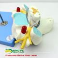 VERTEBRA09 (12393) Medical Science Cervical Vertebrae with Spinal Cord(Medical Model, Anatomical Model)