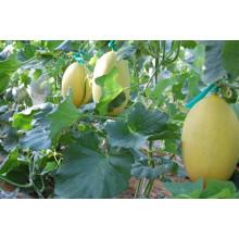 HSM08 Jiti Long ovale jaune doré F1 hybride hami melon graines, melon miel