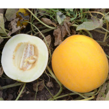 HSM26 Fwiqi chair blanche, ronde orange F1 graines de melon sucré hybride