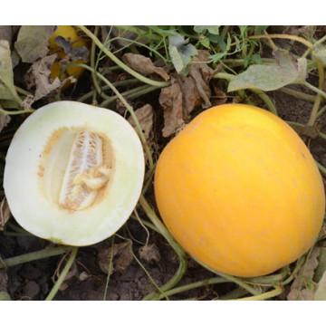 HSM26 Fwiqi carne branca, sementes de melão doce híbrido de laranja rodada F1
