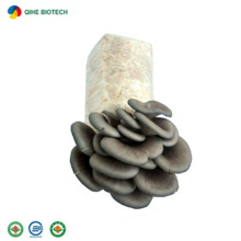 High Yield Organic Oyster Mushroom Spawn Meaty Plant