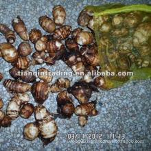 taro wholesale