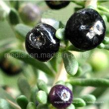 Medlar GMP Manufacture Beispiel Kostenlose Black Wolf Berry