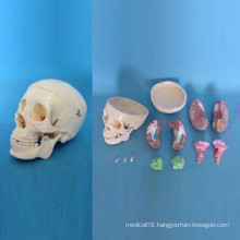 Human Bone System Anatomical Skull Skeleton Model (R050114)