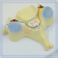 PNT-0615 Best price of implant bone model for sale