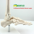 JOINT01 (12347) Medical Anatomy Human Life-Size Foot Joint Skeleton Anatomical Models