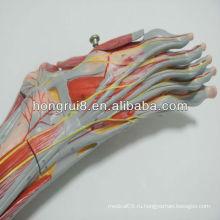 2013 ГОРЯЧАЯ ПРОДАЖА Медицинские мускулы стопы с основными сосудами и ногами анатомии нервов