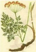 Notopterygium Root Extract 12:1