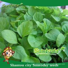 Suntoday vegetal chinês F1 Orgânico cos imagens granel orgânicas sementes de amaranto verde (32001)