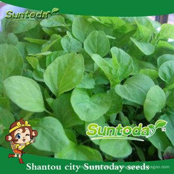 Suntoday овощной китайский F1 органические, потому что органических объемных изображений зеленые семена амаранта(32001)