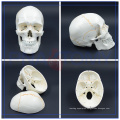 PNT-0152 Life Size 3 Part Classic Education various fo Human Skull Model