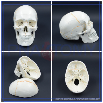 PNT-0152 Vie Taille 3 Partie Classique Éducation divers pour Modèle de Crâne Humain