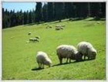 Calcium Lactate as feed additive in cattle and lambs feeding