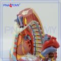 PNT-0480 Mediastinum Model Human anatomy model of mediastinum