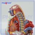 ПНТ-0480 средостения модели человека анатомии модели средостения