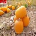 Hot оптовая продажа новые семена тыквы без оболочки