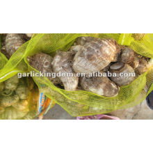 New Fresh Taro with best price