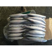 200-300g Frozen Pacific Mackerel Fish