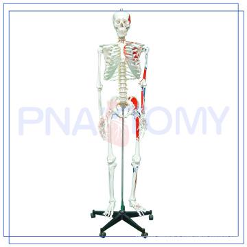PNT-0102 170cm scientific Human muscle Skeleton Model