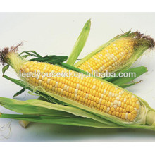 MCO04 Zai yellow and white sweet corn vegetable seeds for sales