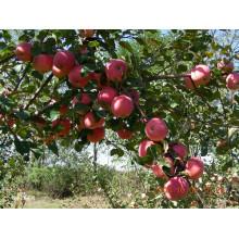 2015 Ярко-красное яблоко Gala от Shandong Boren