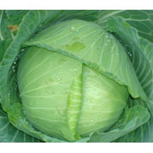 HC04 Shiba resistente ao calor, Oblateness verde F1 sementes de repolho híbrido