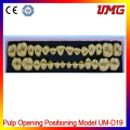 Dental New Product Pulp Opening Positioning Model