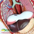 TUNK ANATOMY 12013 Plastique 27 Pièces 85cm Dos Ouvert Modèles de torse médical anatomique bi-sexe