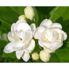 An invigorating jasmine essential oil